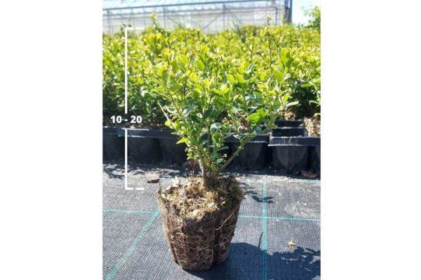 Ilex crenata Green Hedge 10/20 cm