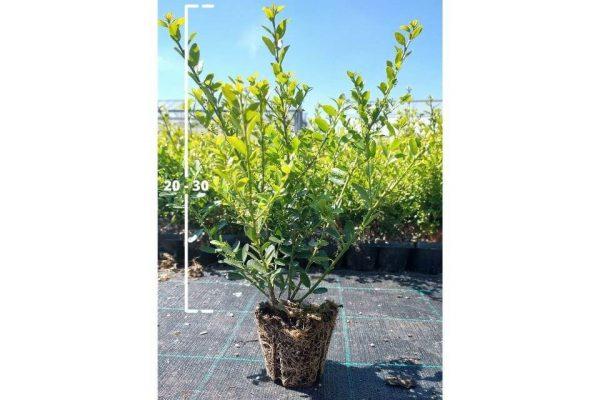 Ilex crenata Green Hedge 20/30 cm