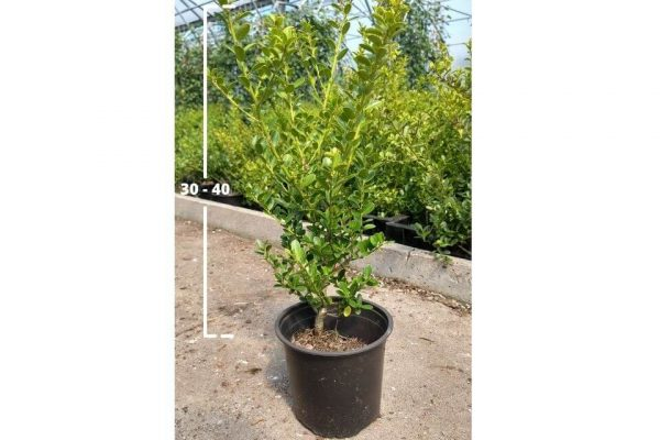 Ilex crenata Green Hedge 30/40 cm