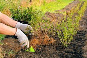 Buxus vervangers aanplanten in de grond