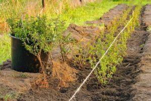 Hoeveel planten per strekkende meter aanplanten