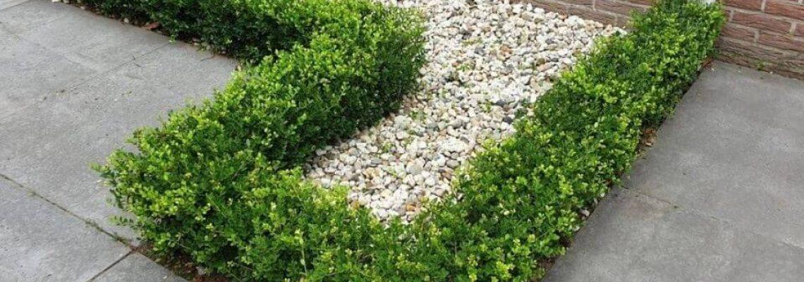 ilex-crenata-green-hedge-haag-2.jpg